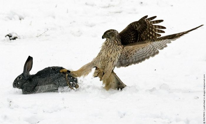 Golden Eagle Hunting in Kazakhstan (9 pics)