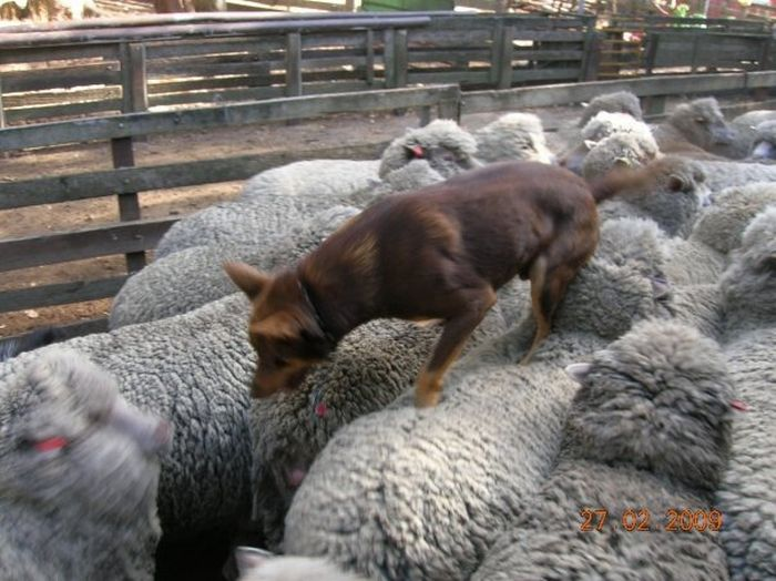 Dog is Running on Sheep (4 pics)