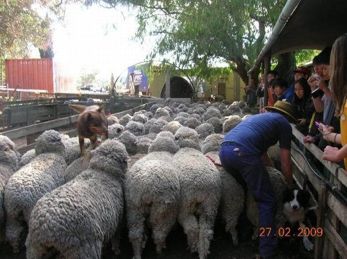 Dog is Running on Sheep (4 pics)