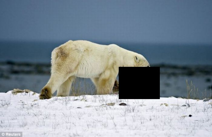 A Male Polar Bear Eats Baby Cub (4 pics)