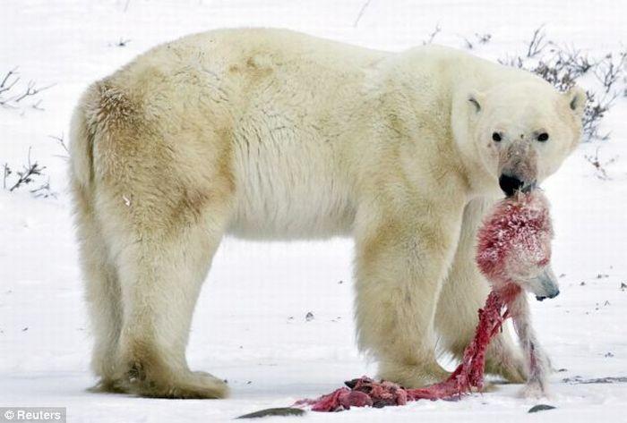 A Male Polar Bear Eats Baby Cub (4 pics)