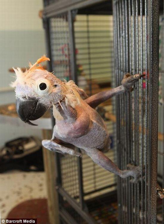 Bald Parrot (5 pics)