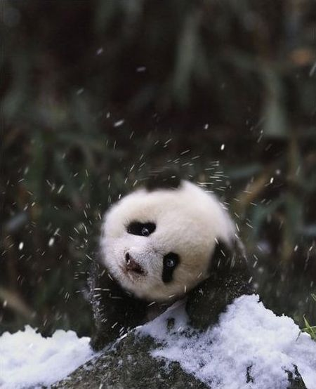 Cute Panda Family Enjoys the First Snow (9 pics)