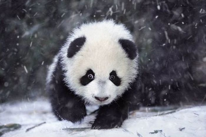 Cute Panda Family Enjoys the First Snow (9 pics)