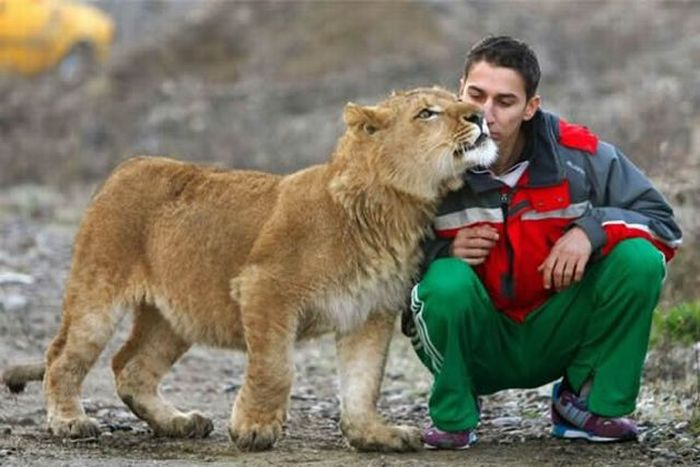 How Lions Say Goodbye (6 pics)