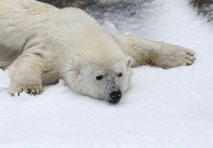 How to Entertain Polar Bears in San Francisco Zoo (4 pics)