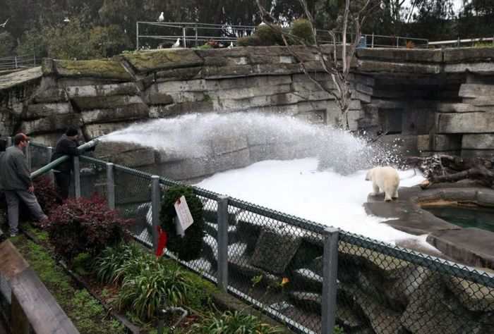 How to Entertain Polar Bears in San Francisco Zoo (4 pics)