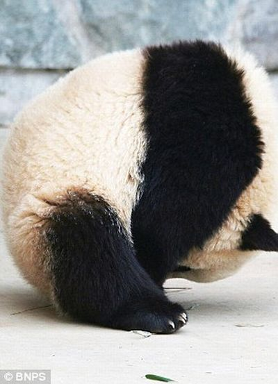 The Giant Panda who did a roly-poly in his sleep (8 pics)