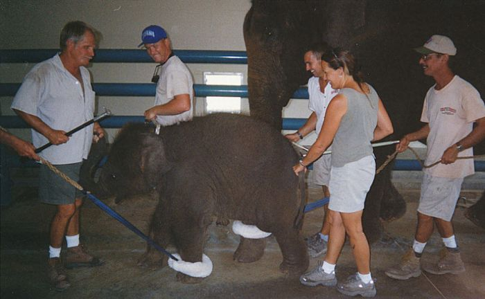 Baby Elephant Trainings in Circus (24 pics)