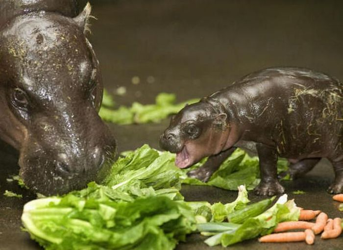 Baby Pygmy Hippo (13 pics)