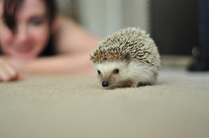 Very Cute Hedgehogs (34 pics)
