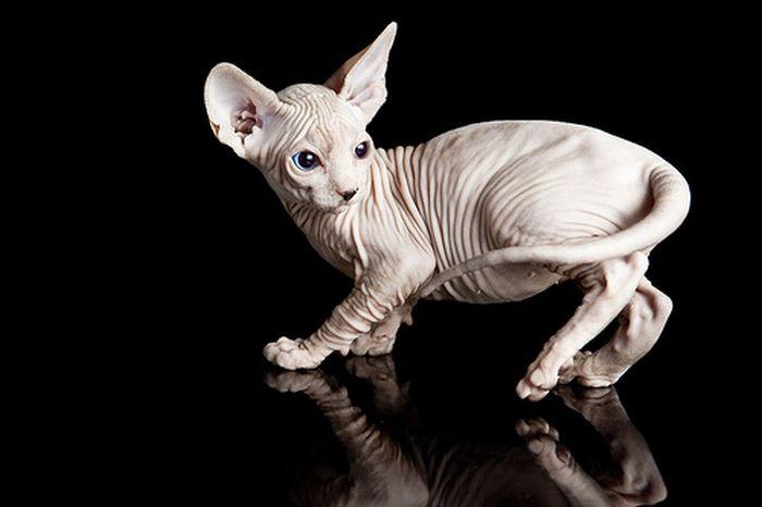 Naked kittens (20 pics)