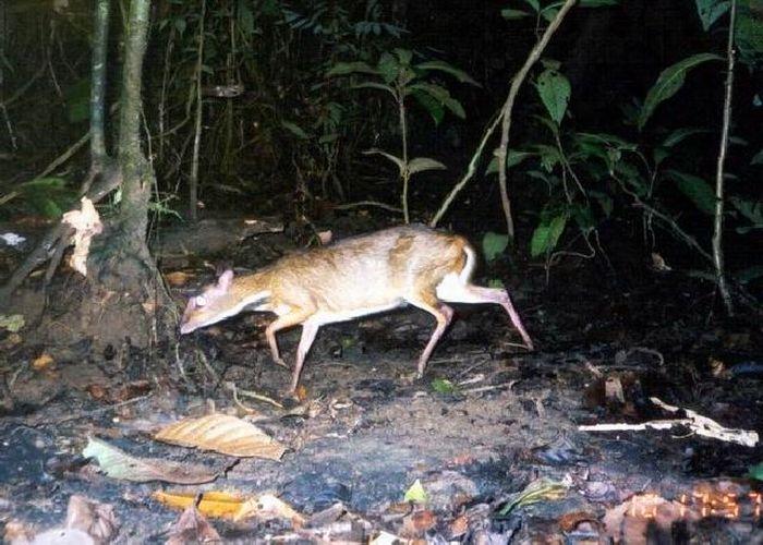 Mouse Deer (23 pics)