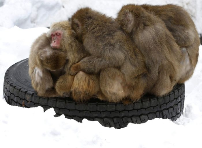 Monkeys Try to Stay Warm (3 pics)