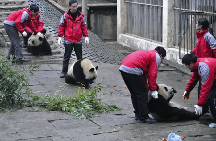 How Pandas are Transported in China (8 pics)