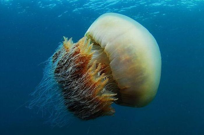 Giant Jellyfishes (6 pics)