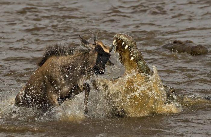 Predator vs Prey (20 pics)
