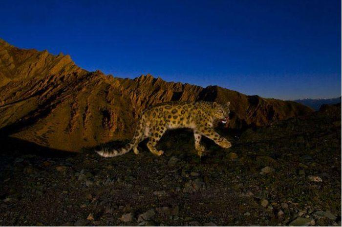 Snow Leopard (13 pics)