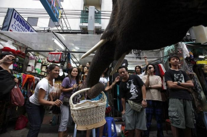 Thai Elephants Help to Raise Money for Haiti (7 pics)