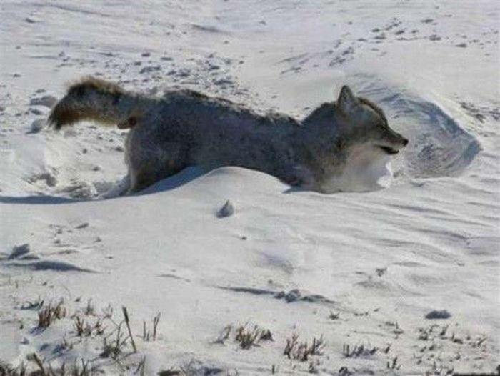 Frozen Coyote (4 pics)