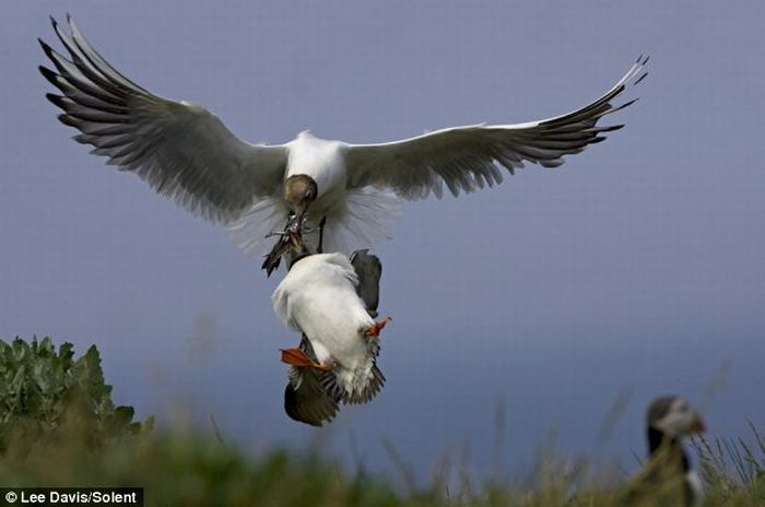 Puffin Mugged by a Gull (3 pics)