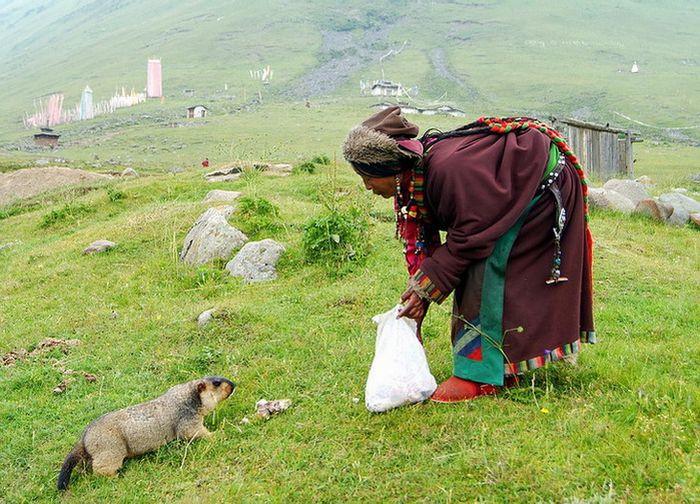 Feeding Groundhogs in Tibet (6 pics)