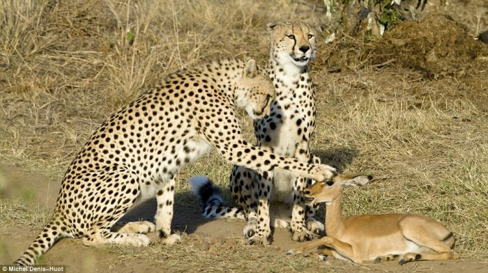Rare Shots. Cheetahs Letting Tiny Antelope Go (4 pics)