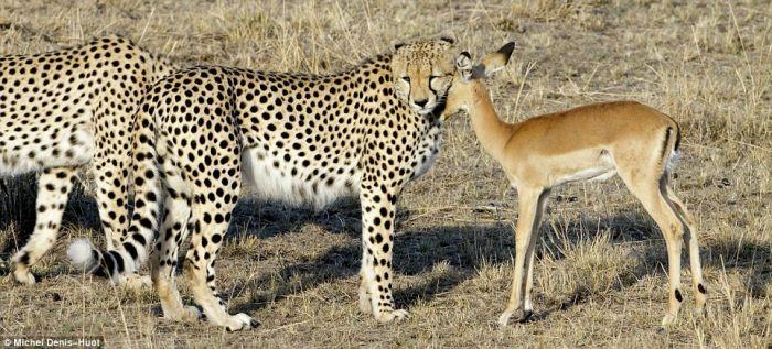 Rare Shots. Cheetahs Letting Tiny Antelope Go (4 pics)