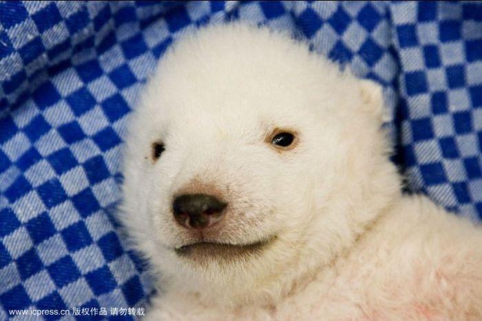 A Polar Bear Cub (8 pics)