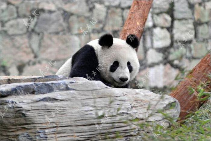 Pandas (54 pics)