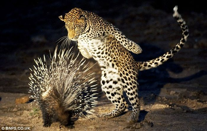 Young Leopard Tries to Eat a Porcupine (4 pics)