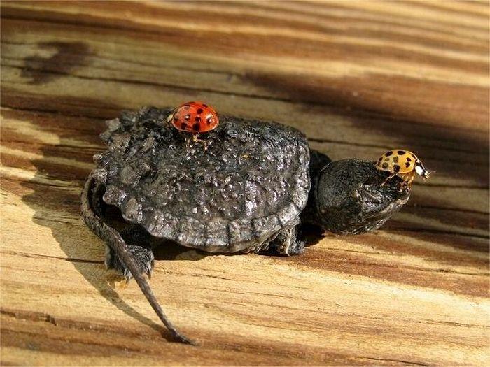 The Life of Tiny Turtles (12 pics)