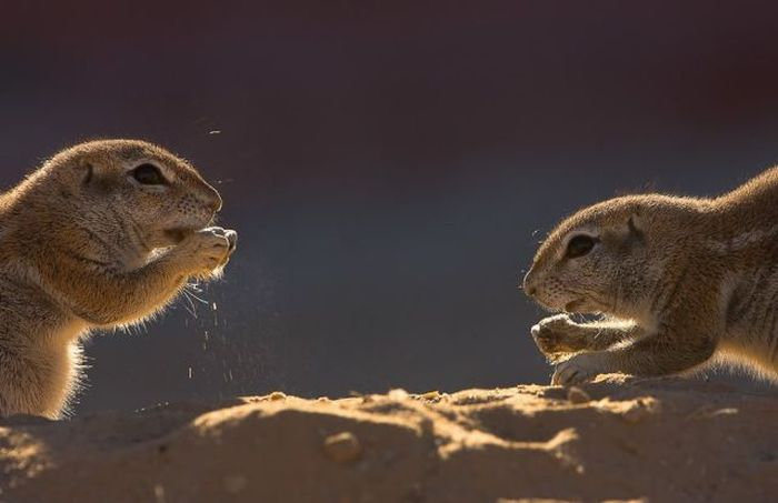 Cute Gophers (20 pics)