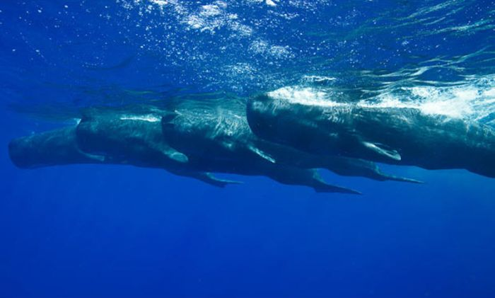 Swimming with Whales (13 pics)