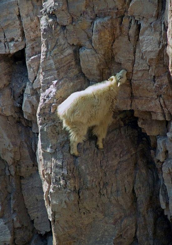 Crazy Goats (29 pics)