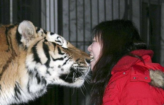 Biting a tigers's nose (3 pics)