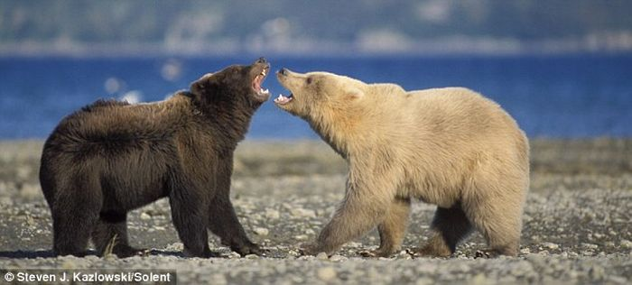 Grizzly Bear Fight (7 pics)