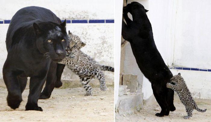 Les macs de la mignonnitude du règne animal Jaguar_cub_playing_with_his_mother_06