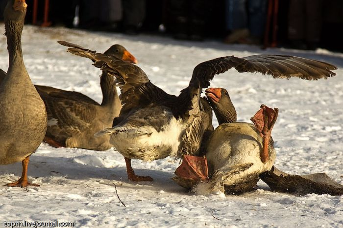 Traditional Goose Fighting in Russia (8 pics)