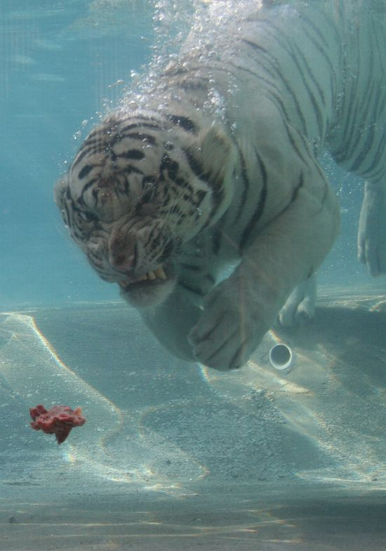Diving White Tiger (26 pics)