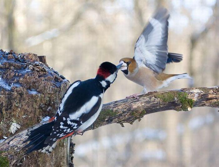 Woodpecker and Grosbeak kissing? No way. (5 pics)