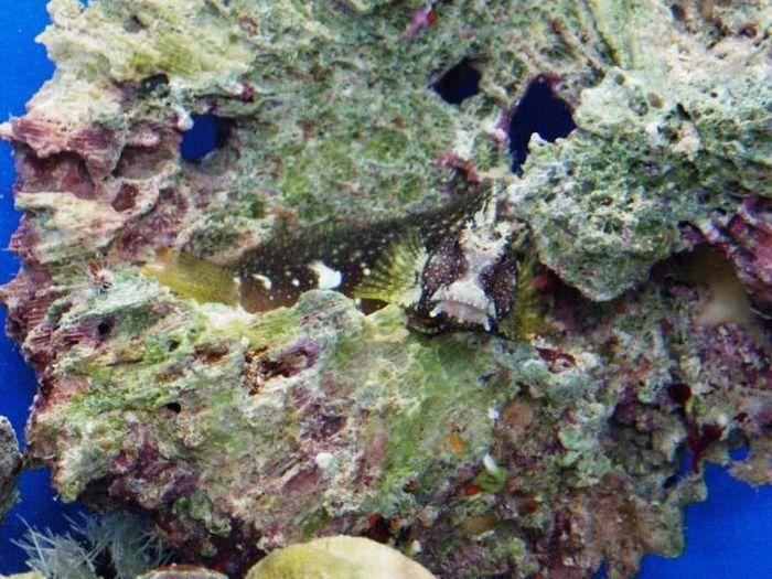 Stonefish - Master of Camouflage (20 pics)
