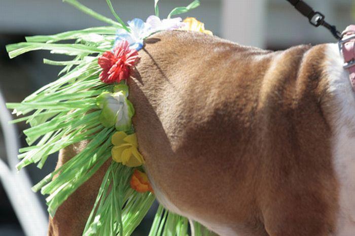 Bulldog Beauty Contest (19 pics)