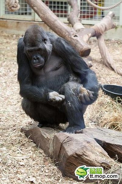 Ape is Eating Its Own Poo (10 pics)