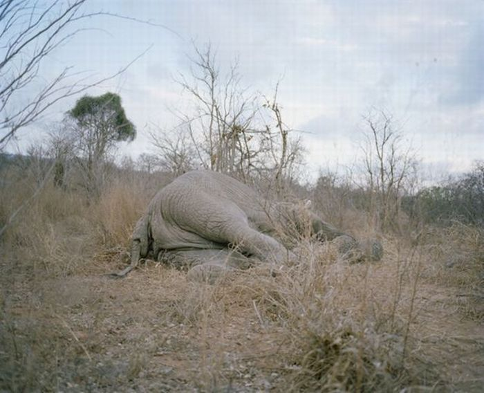 What Happens to a Dead Elephant in Zimbabwe (9 pics)