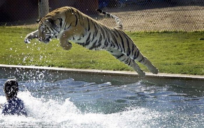 Diving with Tigers (6 pics)