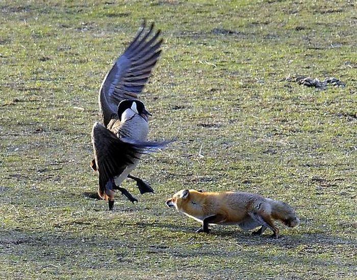 Geese vs Fox (5 pics)