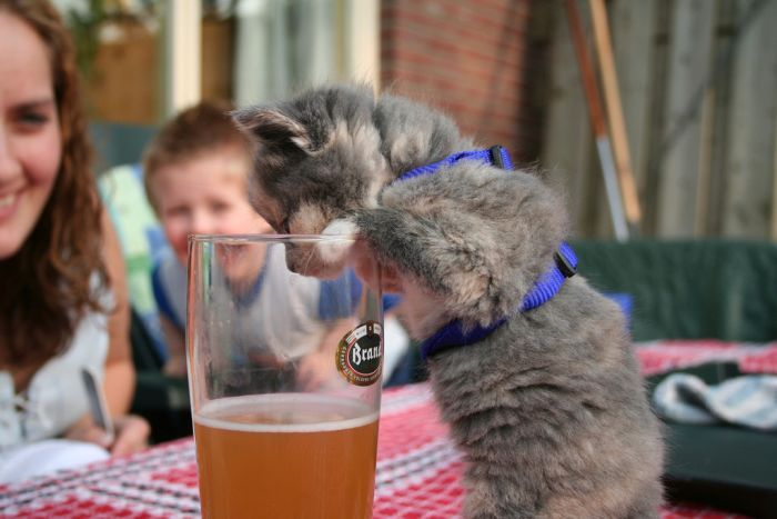 Cats Who Love Beer (25 pics)