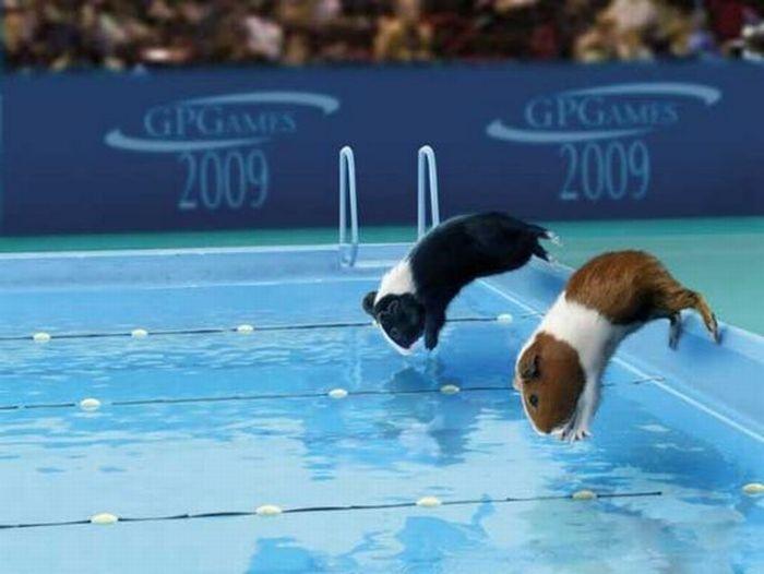 Guinea Pig Olympics (9 pics)