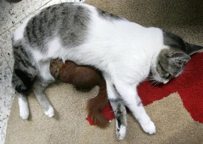 A Cat Adopted a Small Squirrel (7 pics)